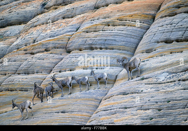 Bighorn Sheep on Checkerboard Mesa. Zion National Park, UT - Stock Image