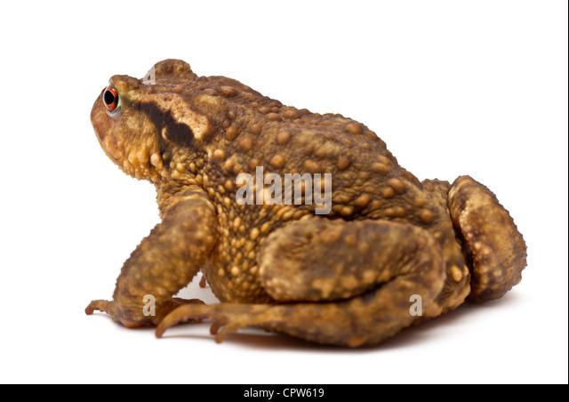 Common toad, Bufo bufo, against white background - Stock-Bilder