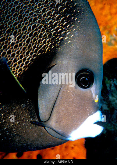 Underwater French angelfish - Stock Image