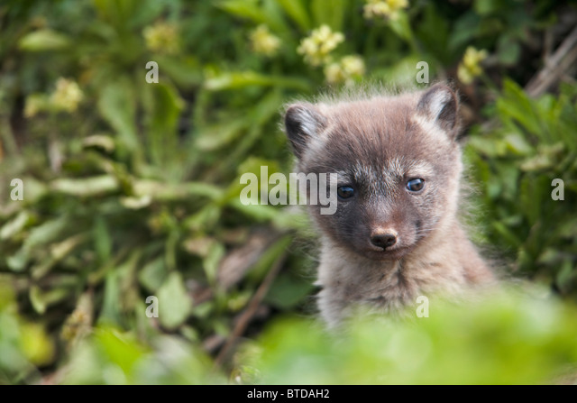 Close up of an Arctic Fox  pup peeking out from its den, Saint Paul Island, Pribilof Islands, Bering Sea, Alaska, - Stock Image