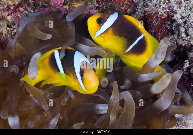 Red Sea Anemonefish Amphiprion bicinctus Marsa Alam Red Sea Egypt - Stock Image
