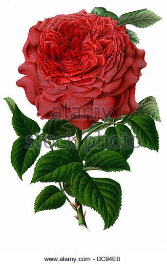 Rose mademoiselle annie wood - Stock-Bilder