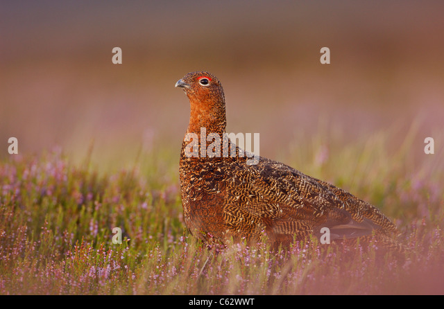 RED GROUSE Lagopus lagopus scoticus  An adult male among flowering heather  Yorkshire Dales National Park, Yorkshire, - Stock-Bilder