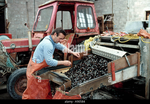 Fish industry in Scotland Man cleaning mussels - Stock-Bilder