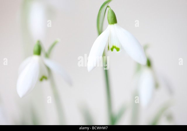 minimal and contemporary image of the classic snowdrop galanthus fine art photography Jane Ann Butler Photography - Stock Image