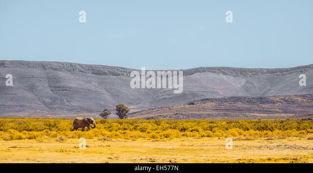 An Elephant Surveys the Plain - Stock Image