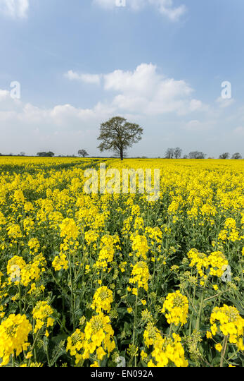 A beautiful field of rapeseed on a sunny spring day outside York, North Yorkshire. - Stock-Bilder