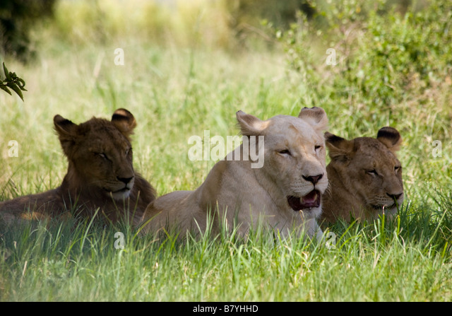 Lions at Lion Park South Africa - Stock Image
