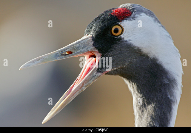 Common Crane portrait, Lake Hornborgasjoen, Sweden - Stock Image