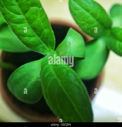 Macro of sunflower seedling leaves - Stock Image
