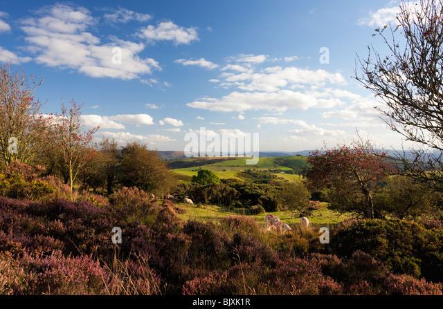 Sheep grazing Stiperstones purple heather summer day blue sky sunshine near Bishops Castle Shropshire Borders England - Stock Image