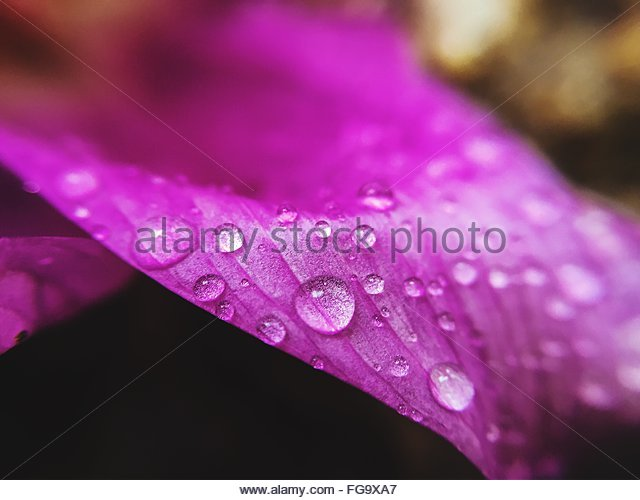Close-Up Of Wet Pink Flower - Stock Image