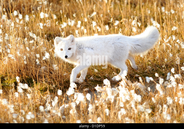 An arctic fox walks through cotton grass September 17, 2012 in Pituffik, Greenland. - Stock-Bilder