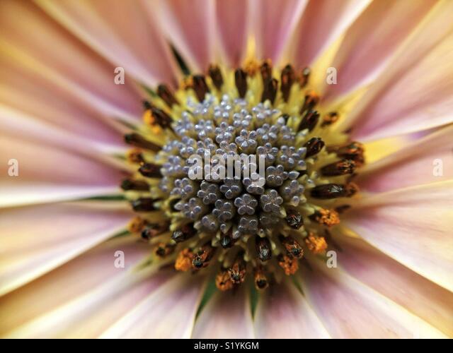 Center of African daisy. Osteospermum. Macro. - Stock Image