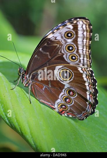 blue morpho (Morpho peleides), sitting on a leaf - Stock-Bilder