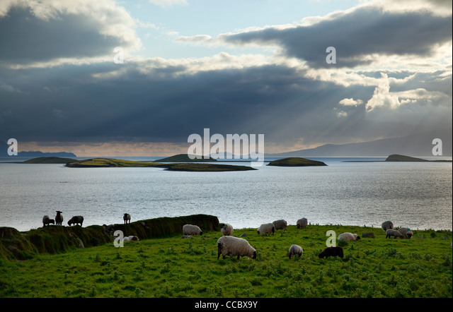 Sheep grazing beside Clew Bay, County Mayo, Ireland. - Stock Image