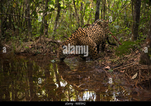 A Jaguar explores a small water creek inside a forest in Central Brazil - Stock Image