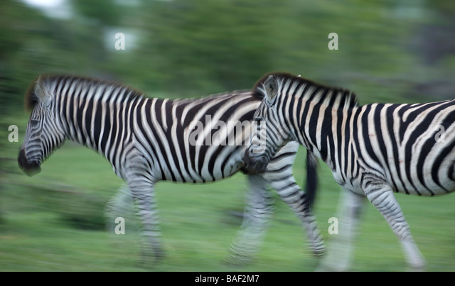 zebra on the move, Kruger National Park, South Africa - Stock Image