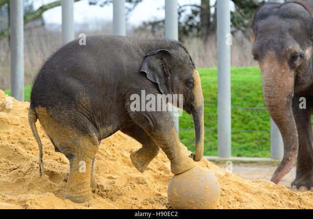 Whipsnade, Bedfordshire, UK. 10th Jan, 2017. Cute baby Asian Elephant plays with ball during the Annnual Stocktake - Stock Image
