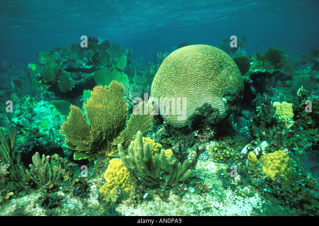 caribbean turks caicos islands shallow reef brain coral sea fans providenciales - Stock Image