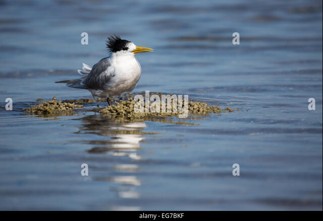 Greater Crested tern photographed along the Melbourne coast, Australia - Stock Image