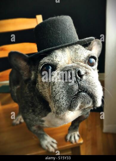 A cute old French bulldog wearing a top hat. - Stock Image