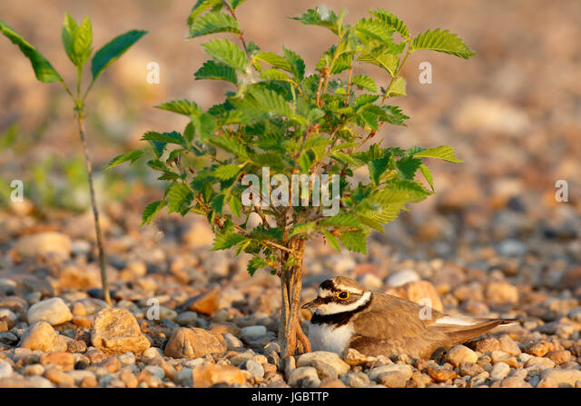Little ringed plover (Charadrius dubius) sitting on nest, brooding, biosphere reserve Mittlere Elbe, Saxony-Anhalt, - Stock Image