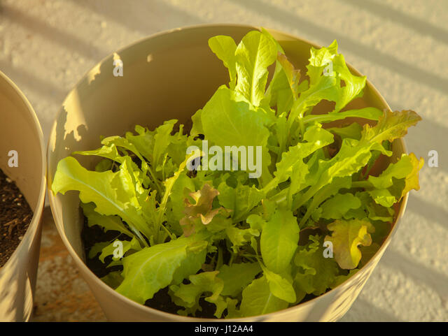 Organic green lettuce, food - Stock Image