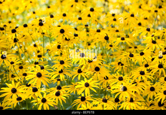 black eyed susan flowers in english cottage garden - Stock Image