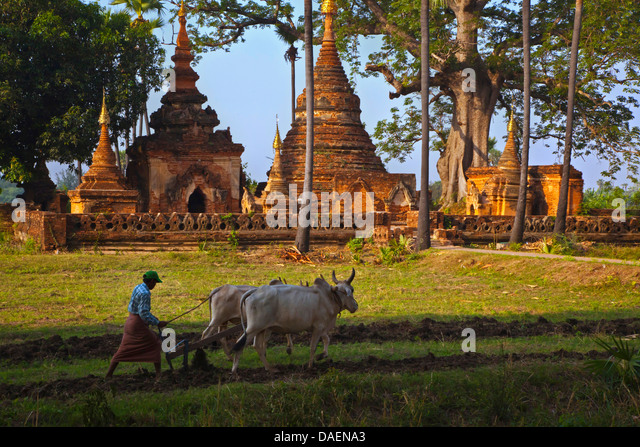 a farmer plowing his fields in front of buddhist stupas, Burma, Inwa - Stock Image