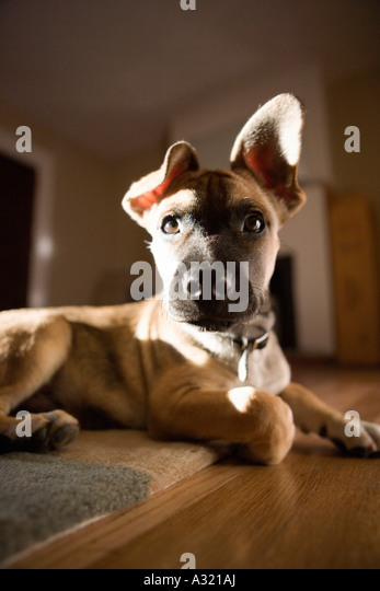Puppy sitting on a rug - Stock-Bilder