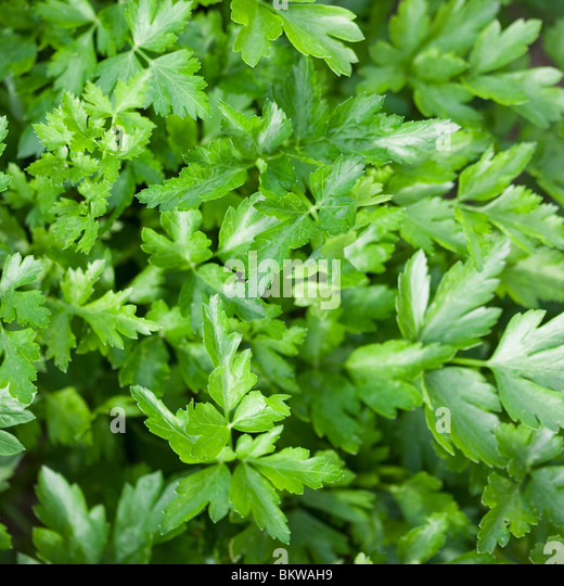 Lots of green leaves - Stock Image