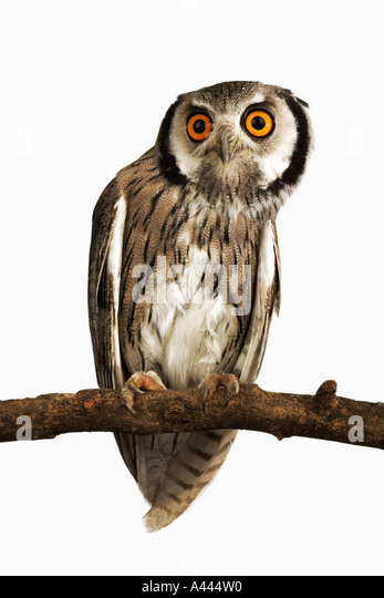 Southern White faced Owl Ptilopsis granti Medium sized nocturnal bird with prominent ear tufts. Found in Southern - Stock Image