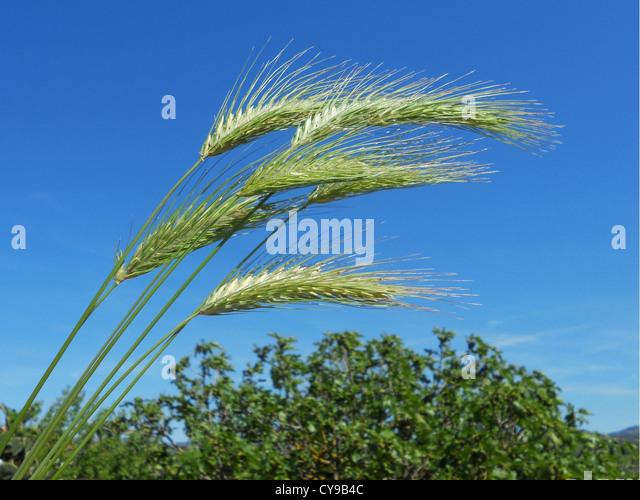 Green ears of wheat - Stock Image