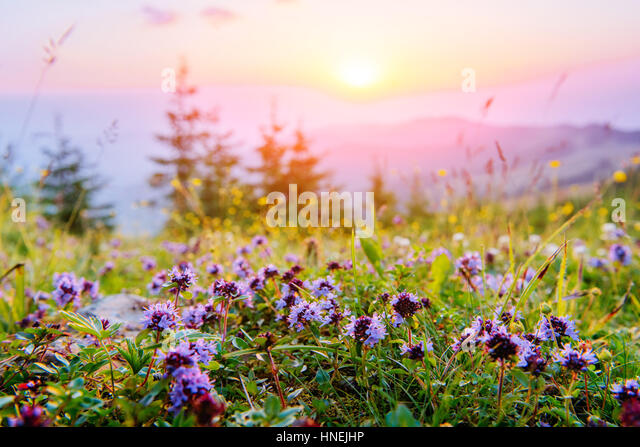 wildflowers in the mountains at sunset - Stock Image