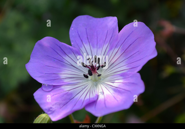 Geranium Rozanne flower - Stock Image