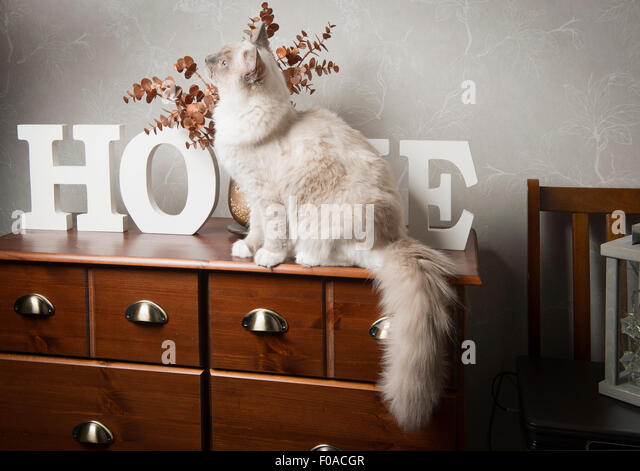 Ragdoll cat sitting on sideboard - Stock Image