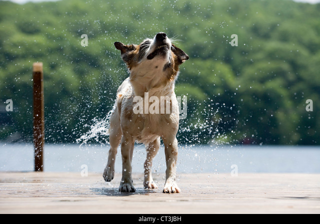 Dog shaking water off fur on dock - Stock Image