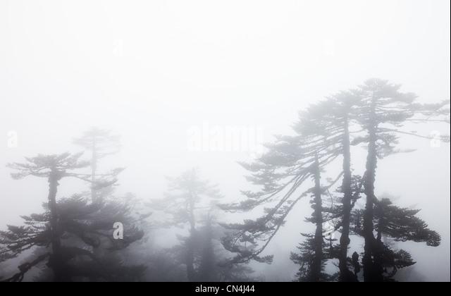 Pines near Dzongri, Kanchenjunga Region, Sikkim, India - Stock-Bilder