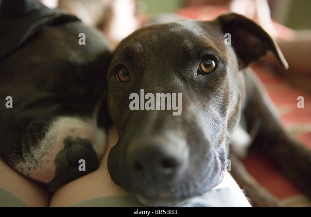 two dogs laying on a person's leg, resting on bed, looking at camera - Stock Image
