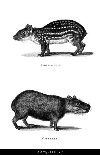 Victorian engraving of a cavy and a capybara. Digitally restored image from a mid-19th century Encyclopaedia. - Stock Image
