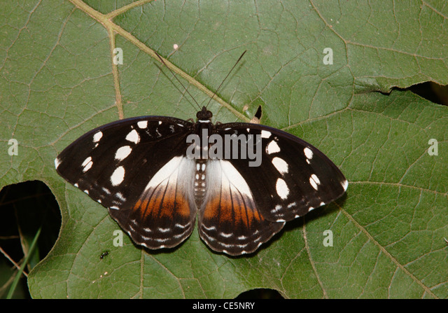 Forest glade nymph butterfly (Aterica galene : Nymphalidae), female in rainforest, Ghana. - Stock Image
