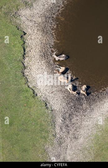 The Netherlands, Hilvarenbeek. Wildlife zoo called Safari park Beekse Bergen. Vietnamese Sika Deer resting. Aerial. - Stock-Bilder