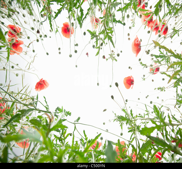 Frame of tender poppy flowers. - Stock Image