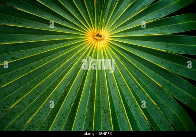 Close up of palm leaf. Turks and Caicos. Providenciales - Stock Image