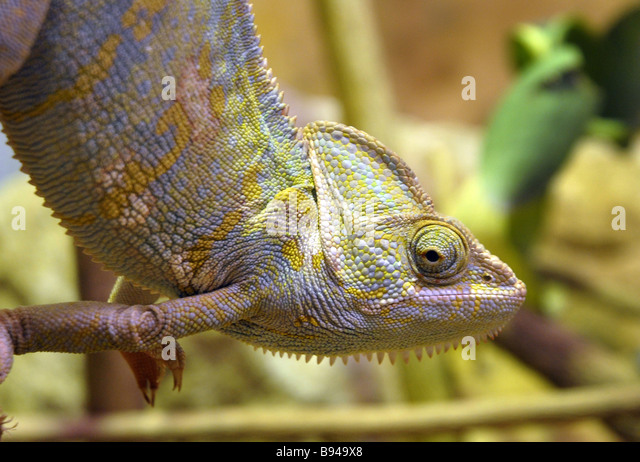 Chameleon Lizard Colour Change Reptile - Stock Image
