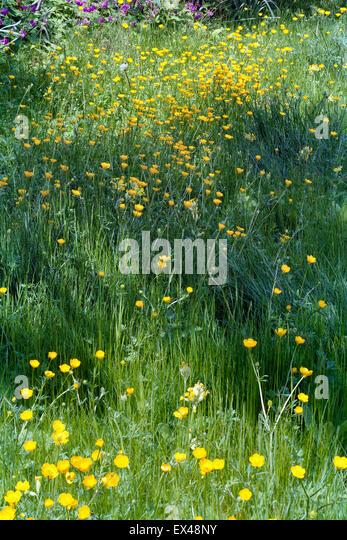 Wildflower meadow of meadow buttercups in grass - Stock Image