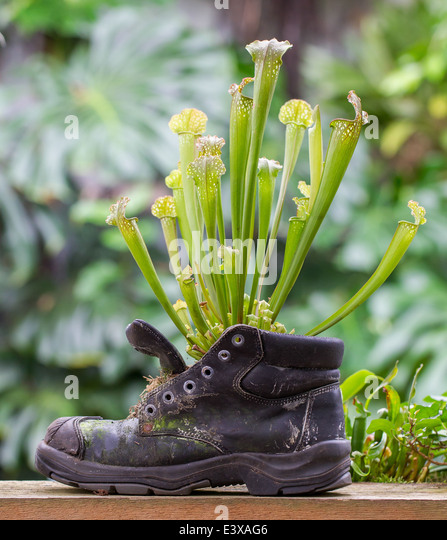 Nature force, Pitcher plants in an old shoe - Stock Image