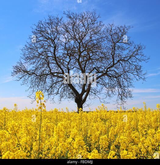 Single Bare Tree In Field Of Canola - Stock Image