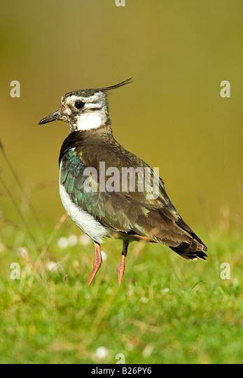 LAPWING (Vanellus vanellus) - Stock-Bilder